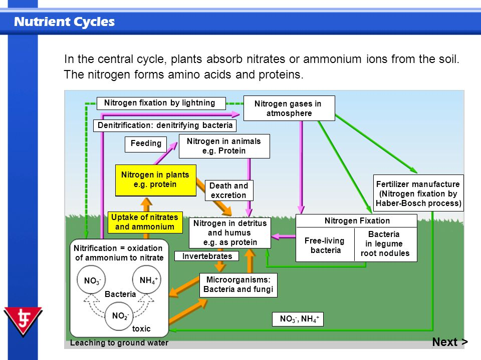 Nutrient Cycles In the central cycle, plants absorb nitrates or ammonium ions from the soil. NO 3 - NH 4 + NO 2 - Leaching to ground water Bacteria Ni