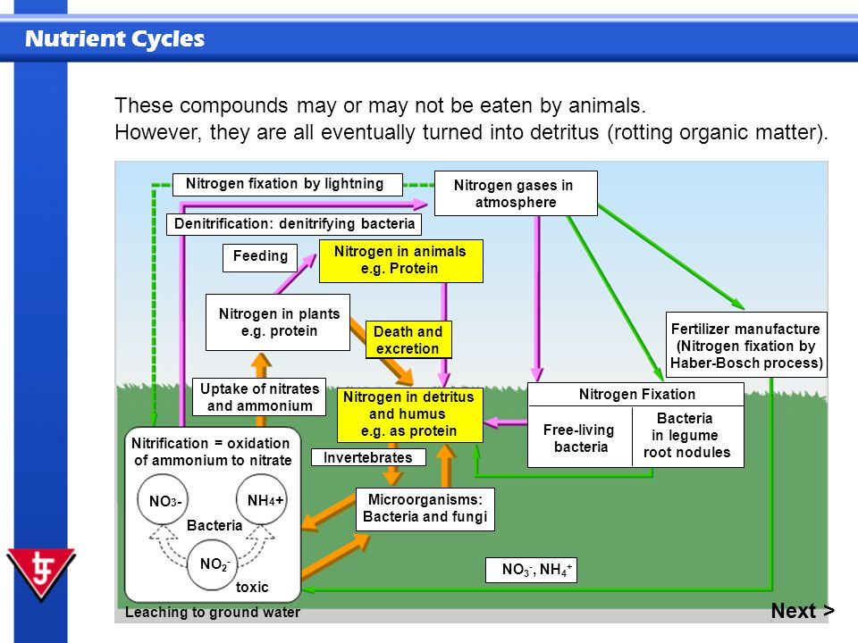 Nutrient Cycles These compounds may or may not be eaten by animals. NO 3 - NH 4 + Leaching to ground water Bacteria Nitrification = oxidation of ammon