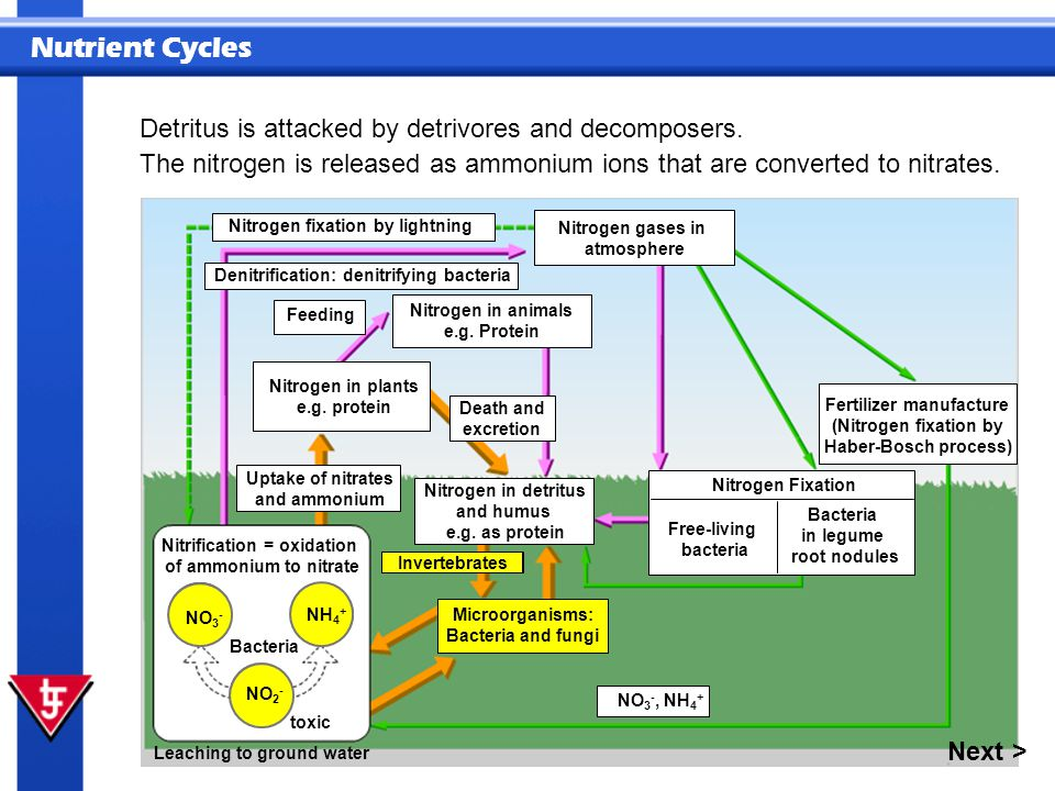 Nutrient Cycles Detritus is attacked by detrivores and decomposers. NO 3 - NH 4 + NO 2 - Leaching to ground water Bacteria Nitrification = oxidation o