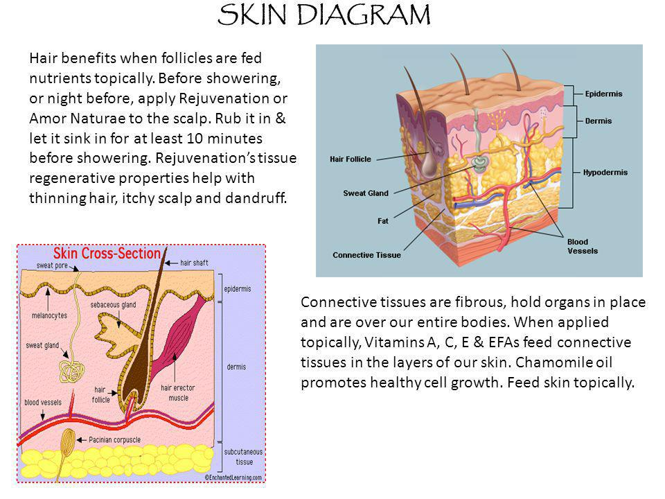 SKIN DIAGRAM Connective tissues are fibrous, hold organs in place and are over our entire bodies. When applied topically, Vitamins A, C, E & EFAs feed