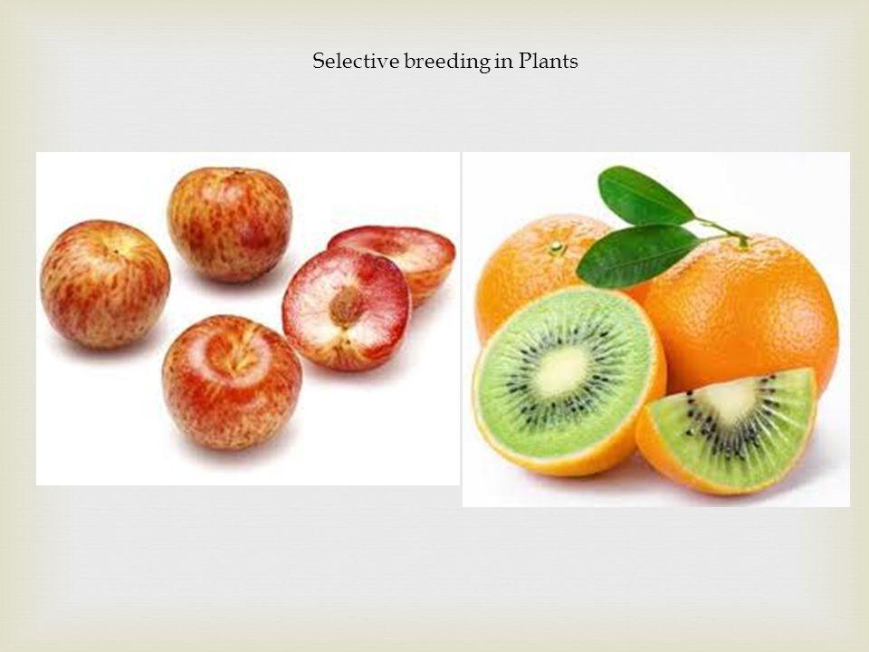 Selective breeding in Plants