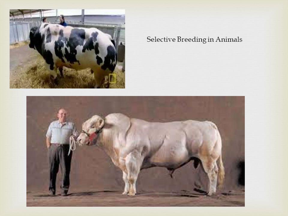 Selective Breeding in Animals