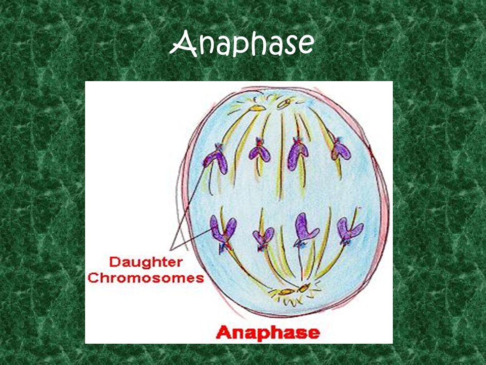 Anaphase