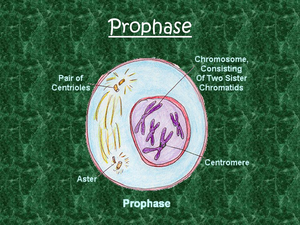 Prophase in an Animal Cell