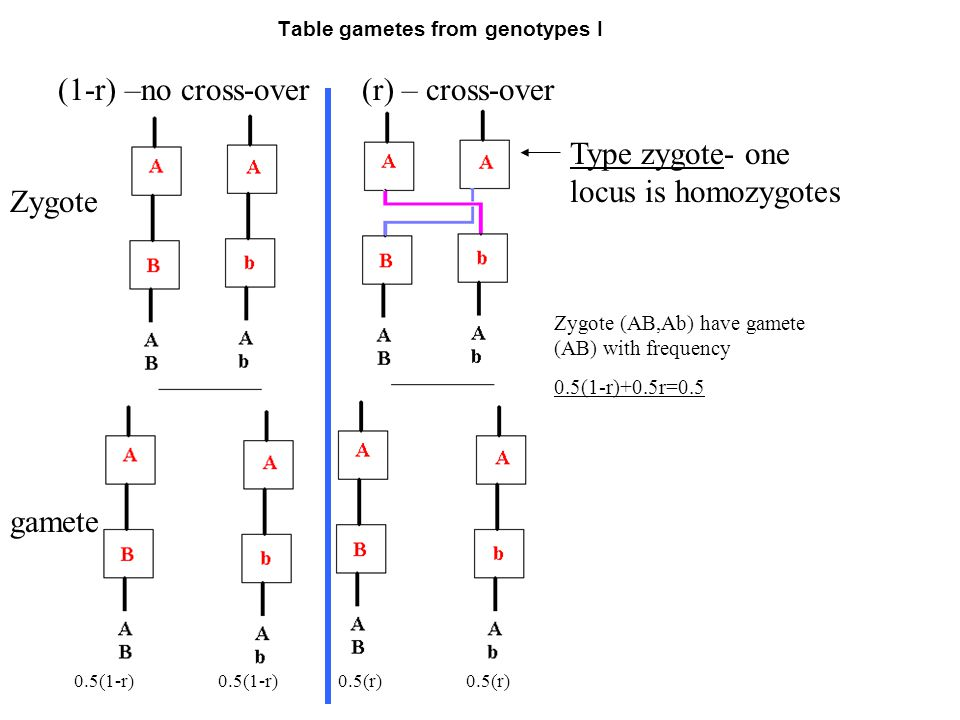 Table gametes from genotypes I (1-r) –no cross-over(r) – cross-over Zygote gamete 0.5(1-r) Type zygote- one locus is homozygotes 0.5(1-r)0.5(r) Zygote