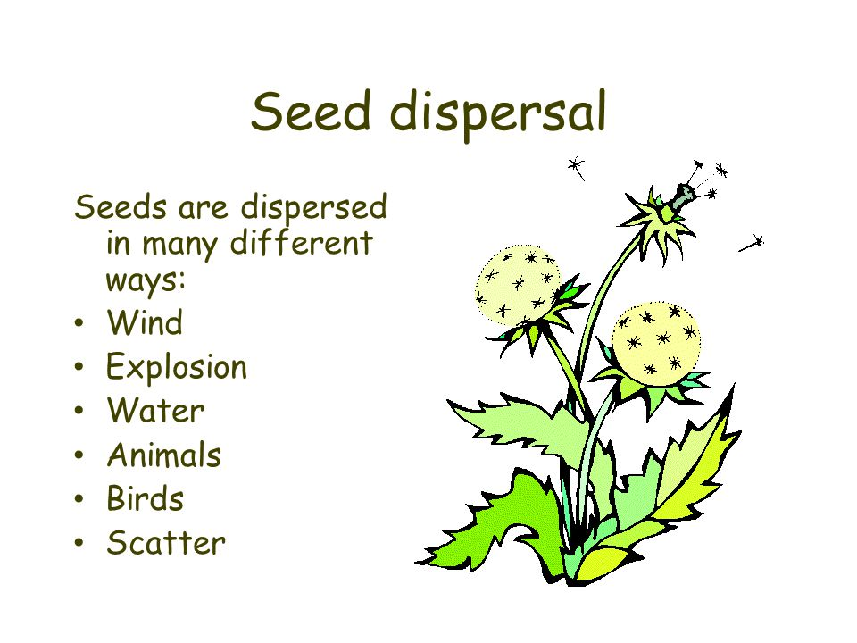 Seed dispersal Seeds are dispersed in many different ways: Wind Explosion Water Animals Birds Scatter