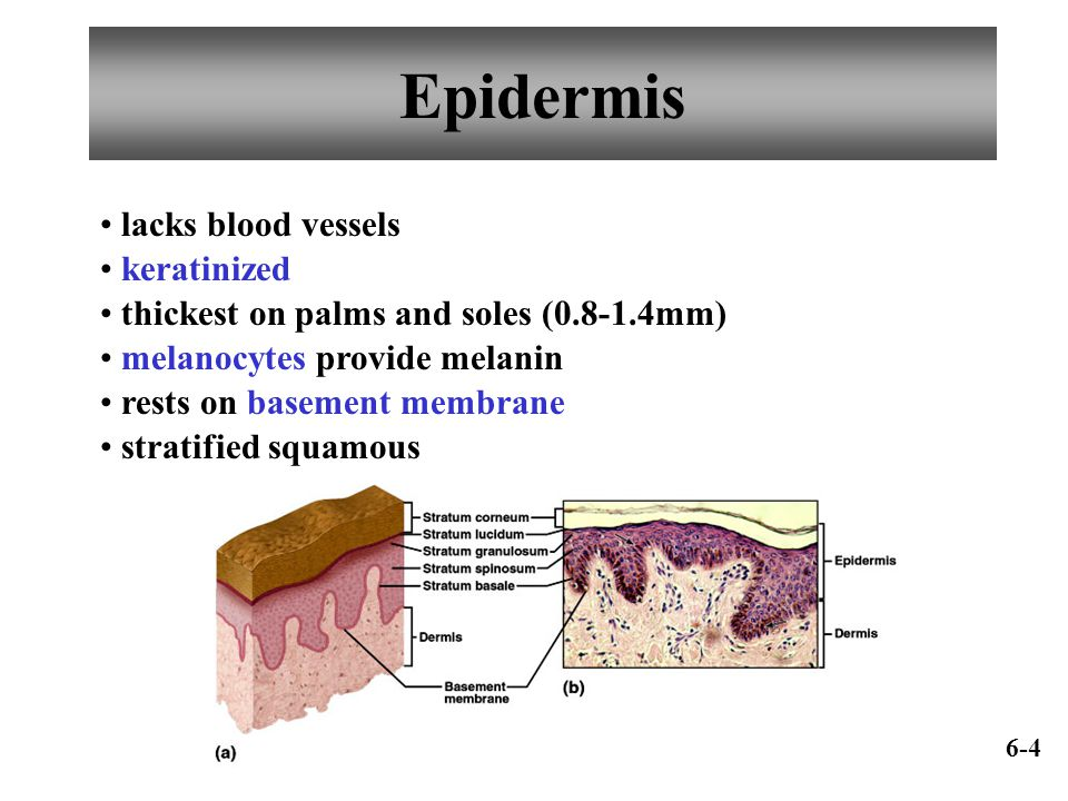 Epidermis lacks blood vessels keratinized thickest on palms and soles (0.8-1.4mm) melanocytes provide melanin rests on basement membrane stratified sq