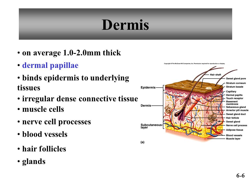 Dermis dermal papillae binds epidermis to underlying tissues irregular dense connective tissue on average 1.0-2.0mm thick muscle cells nerve cell proc