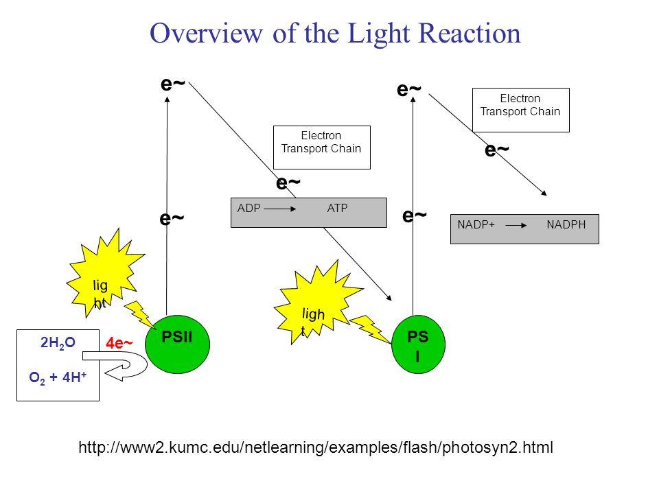PSIIPS I 2H 2 O O 2 + 4H + Electron Transport Chain NADP+ NADPH Electron Transport Chain ligh t ADP ATP e~e~ 4e~ e~ e~e~ e~e~ e~e~ Overview of the Light Reaction http://www2.kumc.edu/netlearning/examples/flash/photosyn2.html