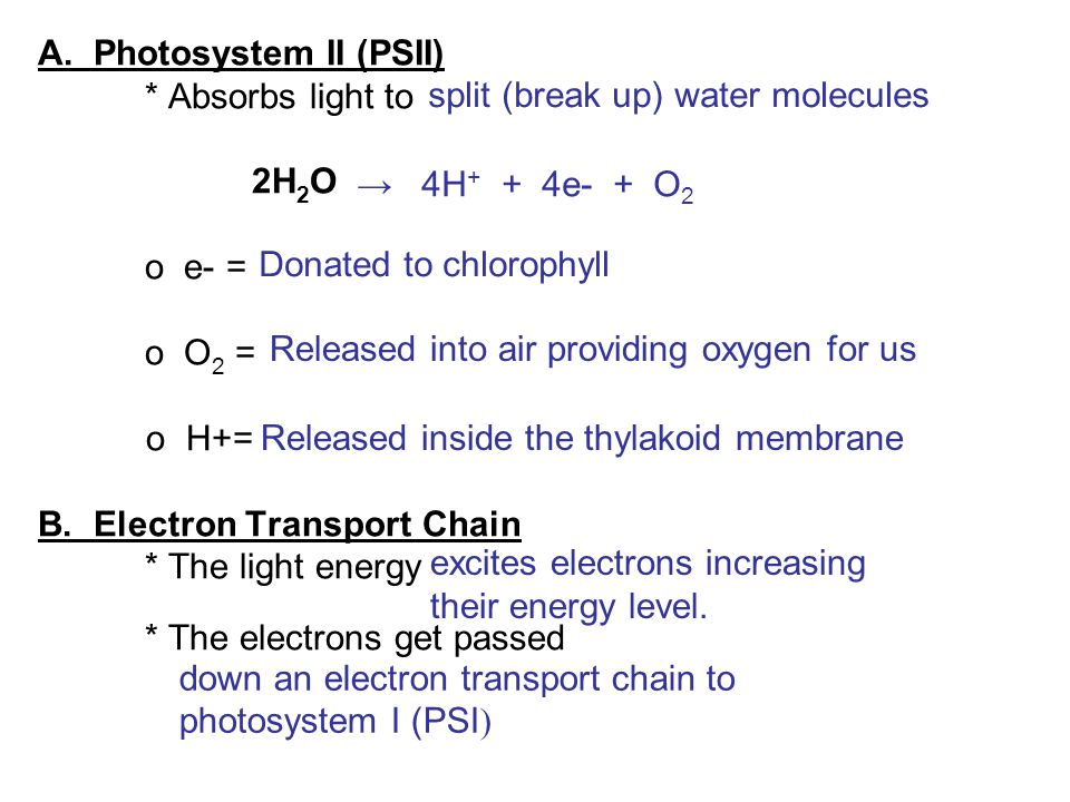 A. Photosystem II (PSII) * Absorbs light to 2H 2 O o e- = o O 2 = o H+= B. Electron Transport Chain * The light energy * The electrons get passed spli