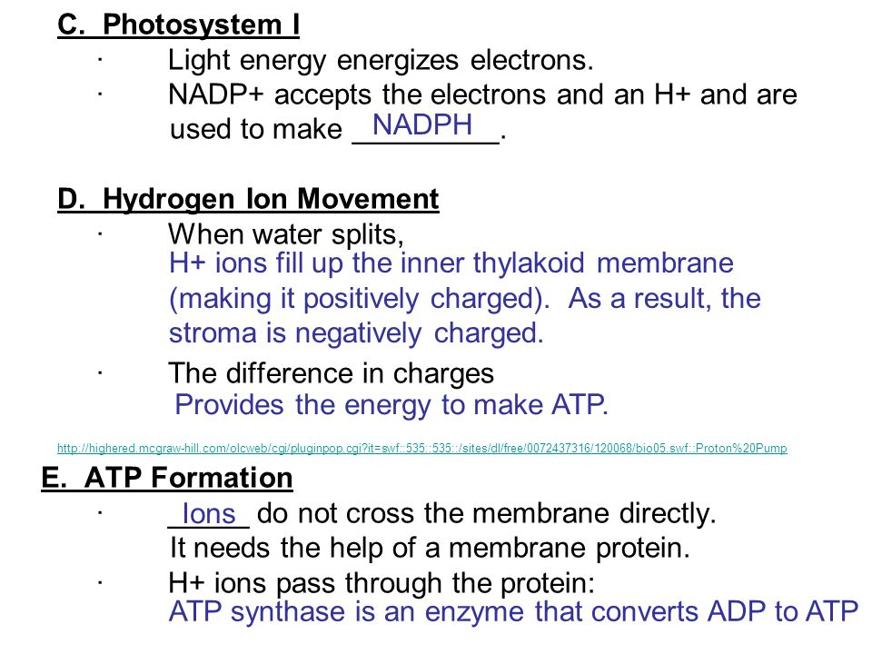 C. Photosystem I · Light energy energizes electrons. · NADP+ accepts the electrons and an H+ and are used to make _________. D. Hydrogen Ion Movement