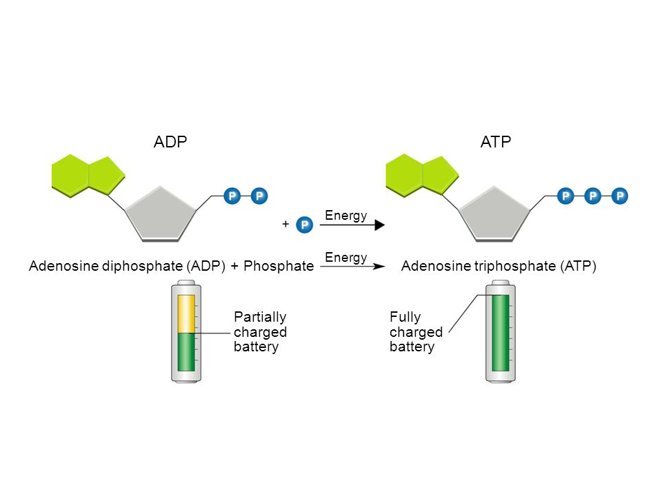 ADPATP Energy Adenosine diphosphate (ADP) + PhosphateAdenosine triphosphate (ATP) Partially charged battery Fully charged battery Section 8-1 Figure 8