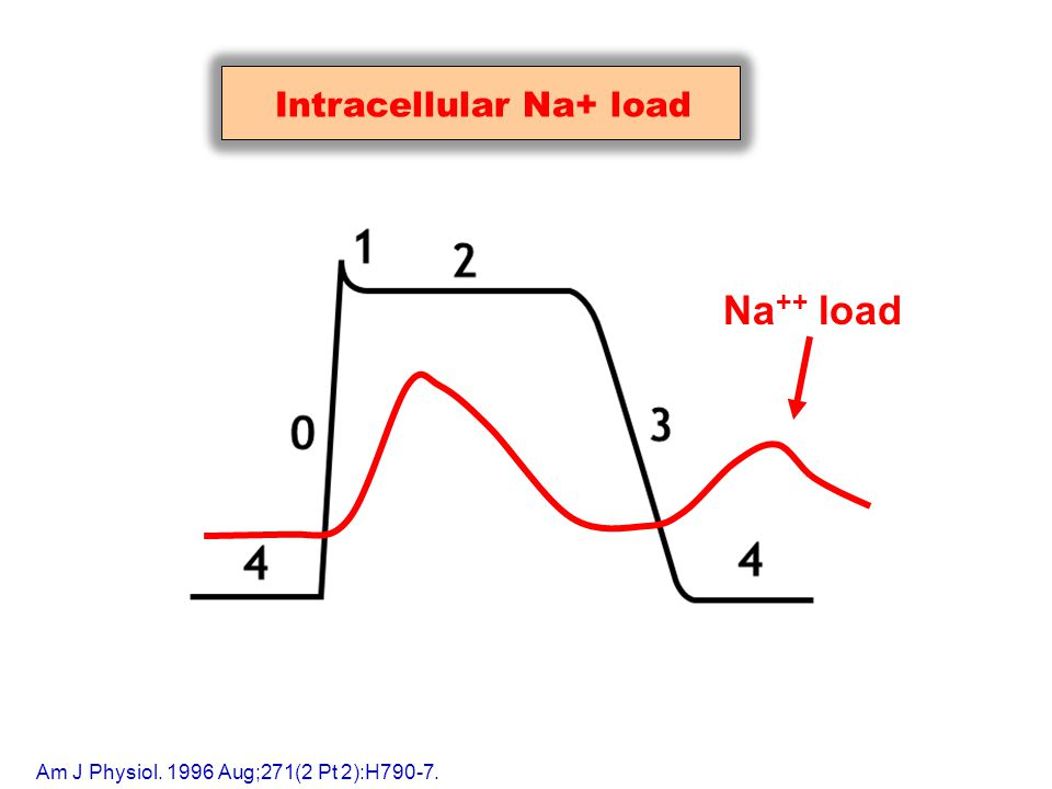 Na ++ load Intracellular Na+ load Am J Physiol. 1996 Aug;271(2 Pt 2):H790-7.