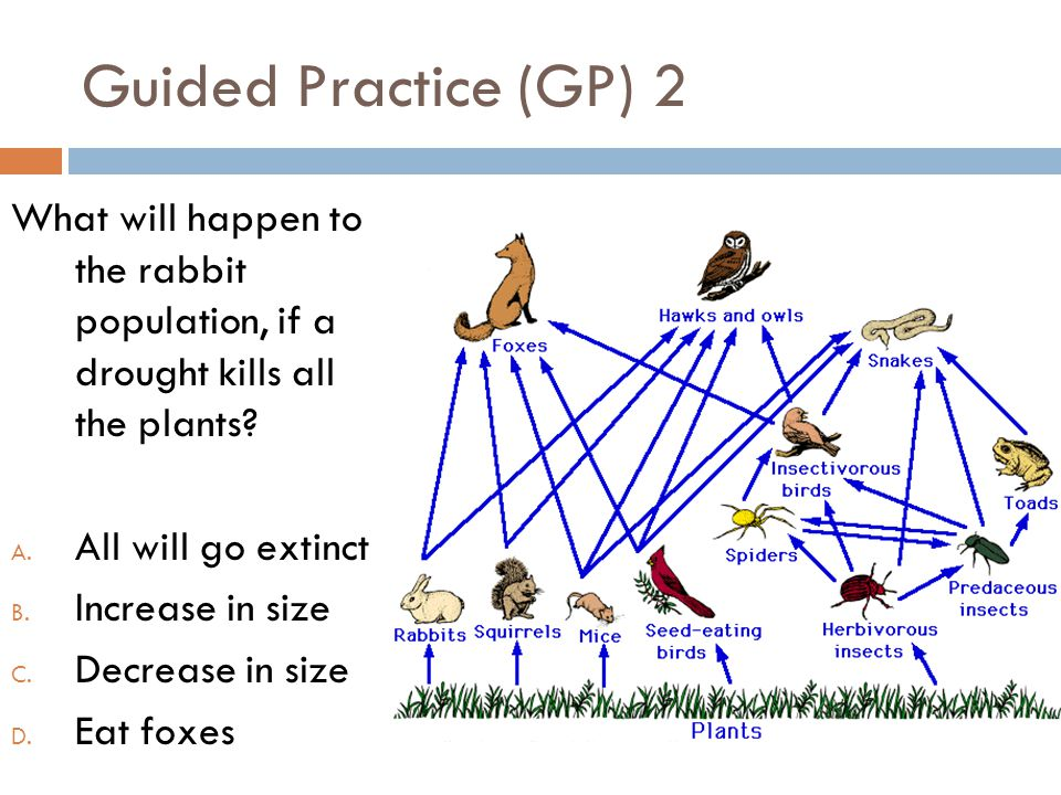 Guided Practice (GP) 2 What will happen to the rabbit population, if a drought kills all the plants? A. All will go extinct B. Increase in size C. Dec