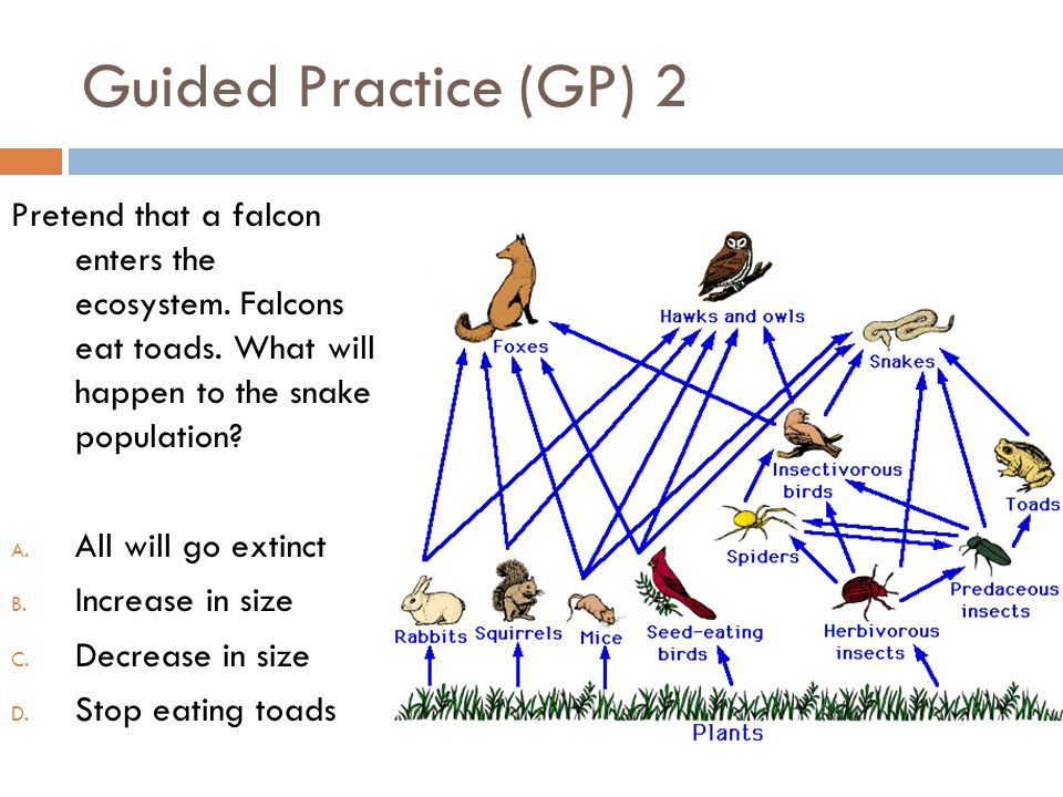 Guided Practice (GP) 2 Pretend that a falcon enters the ecosystem. Falcons eat toads. What will happen to the snake population? A. All will go extinct