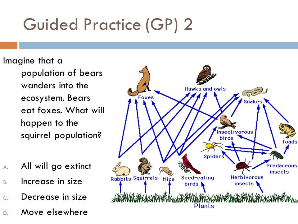 Guided Practice (GP) 2 Imagine that a population of bears wanders into the ecosystem. Bears eat foxes. What will happen to the squirrel population? A.