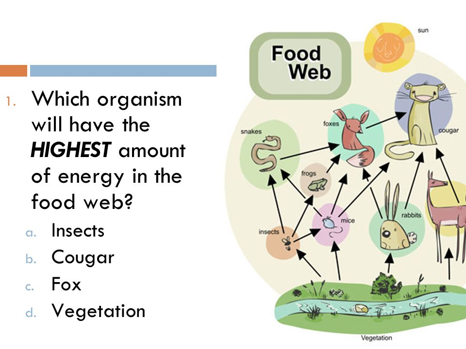 1. Which organism will have the HIGHEST amount of energy in the food web? a. Insects b. Cougar c. Fox d. Vegetation