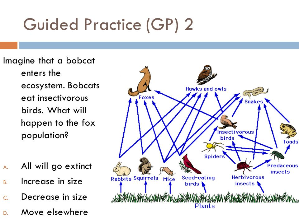Guided Practice (GP) 2 Imagine that a bobcat enters the ecosystem. Bobcats eat insectivorous birds. What will happen to the fox population? A. All wil