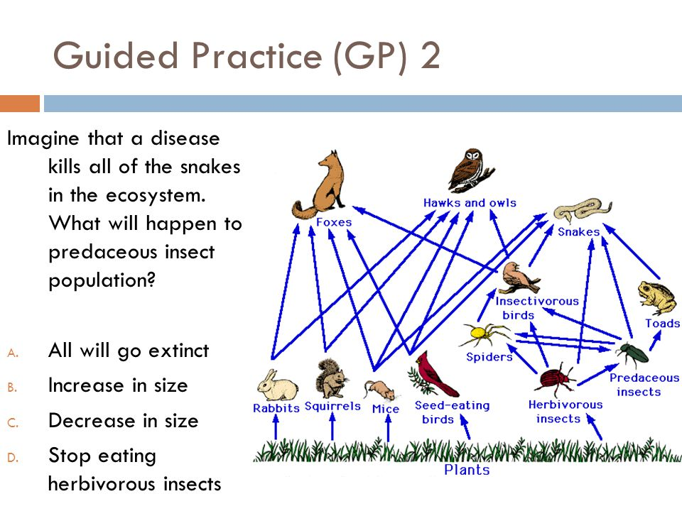 Guided Practice (GP) 2 Imagine that a disease kills all of the snakes in the ecosystem. What will happen to predaceous insect population? A. All will