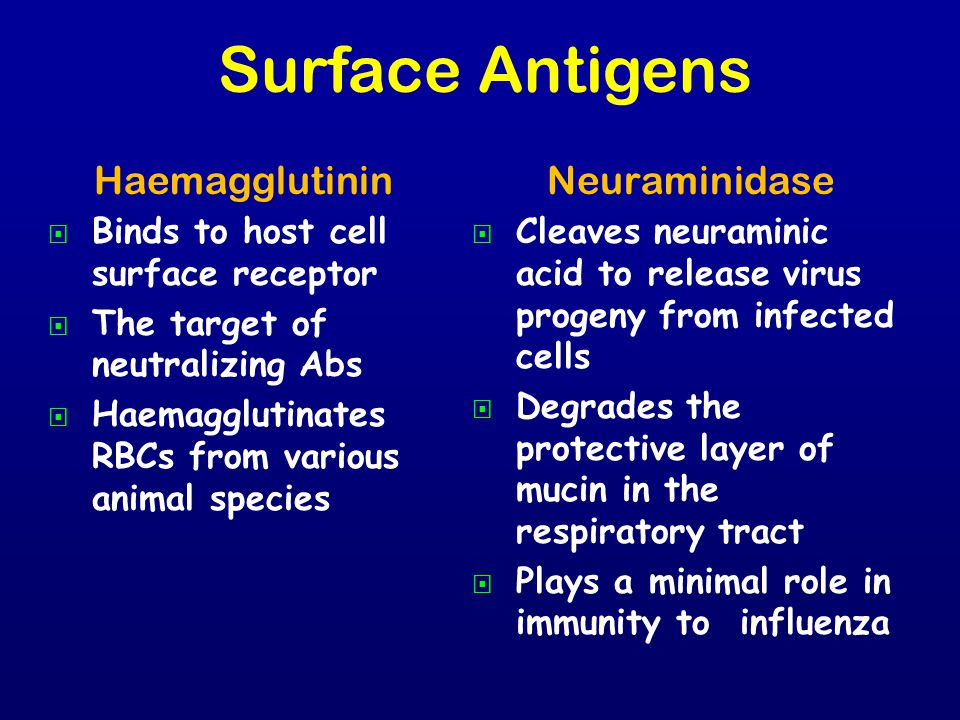 Haemagglutinin   Binds to host cell surface receptor   The target of neutralizing Abs   Haemagglutinates RBCs from various animal species Neuram