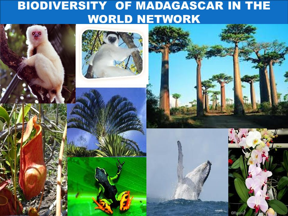 BIODIVERSITY OF MADAGASCAR IN THE WORLD NETWORK