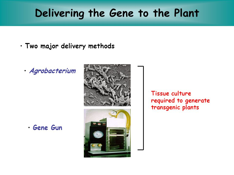 Transforming Plants Agrobacterium method –Use bacterial strain Agrobacterium tumificiens (soil-dwelling bacteria that has the ability to infect plant cells with a piece of its DNA) –Successful transformation in tomato, cotton, tobacco –Preferable to the gene gun, because of the greater frequency of single-site insertions of the foreign DNA, making it easier to monitor.