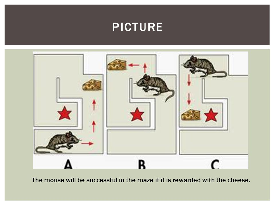 PICTURE The mouse will be successful in the maze if it is rewarded with the cheese.