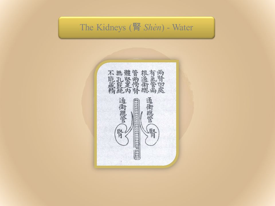 The Kidneys ( 腎 Shèn) - Water