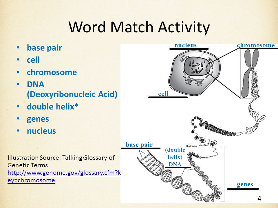 Word Match Activity base pair cell chromosome DNA (Deoxyribonucleic Acid) double helix* genes nucleus Illustration Source: Talking Glossary of Genetic