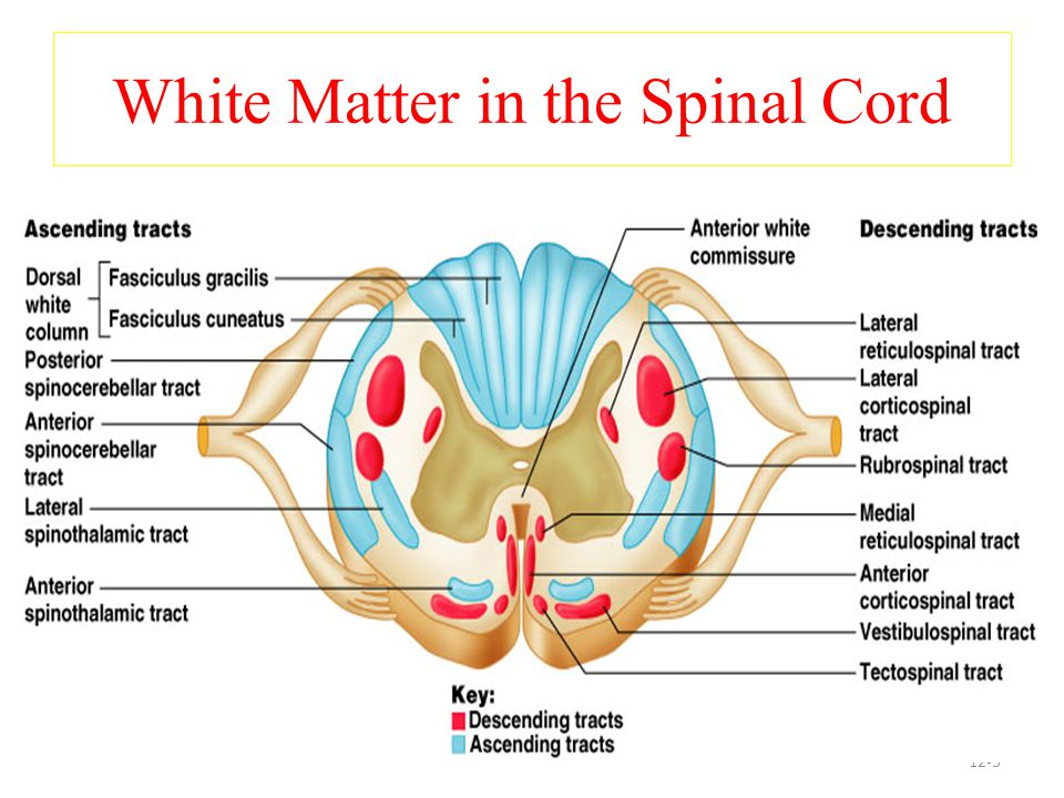 Spinocerebellar tracts ventral &dorsal  Carry information from muscle spindle, Golgi tendon organ and tactile receptors to the cerebellum.