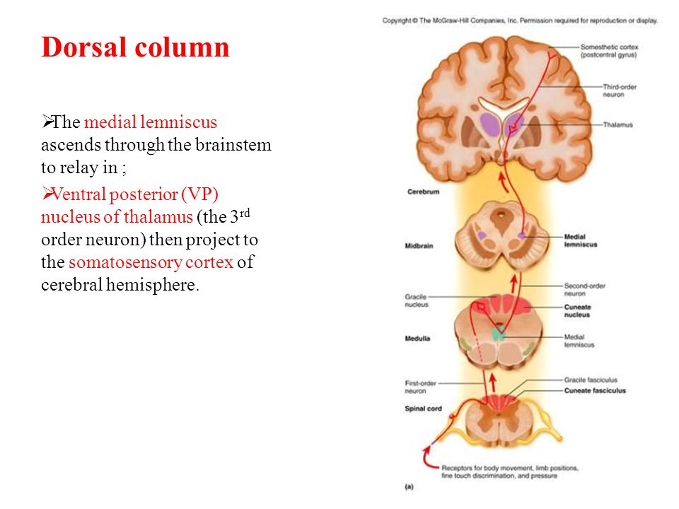 Lesion of the posterior column  Tables dorsalis  Late manifestation of syphilitic CNS  Affects lumbosacral dorsal spinal roots and dorsal column of spinal cord.