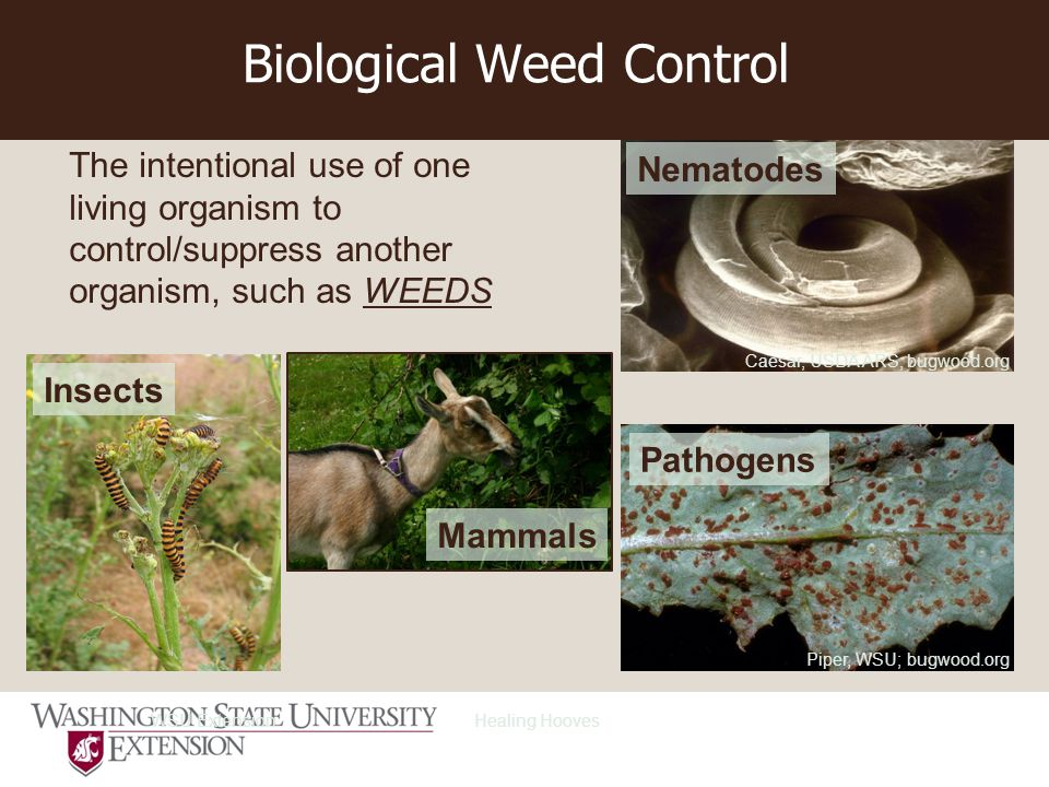 Biological Weed Control The intentional use of one living organism to control/suppress another organism, such as WEEDS Caesar, USDA ARS; bugwood.org Nematodes Piper, WSU; bugwood.org Pathogens Healing Hooves Mammals WSU Extension Insects