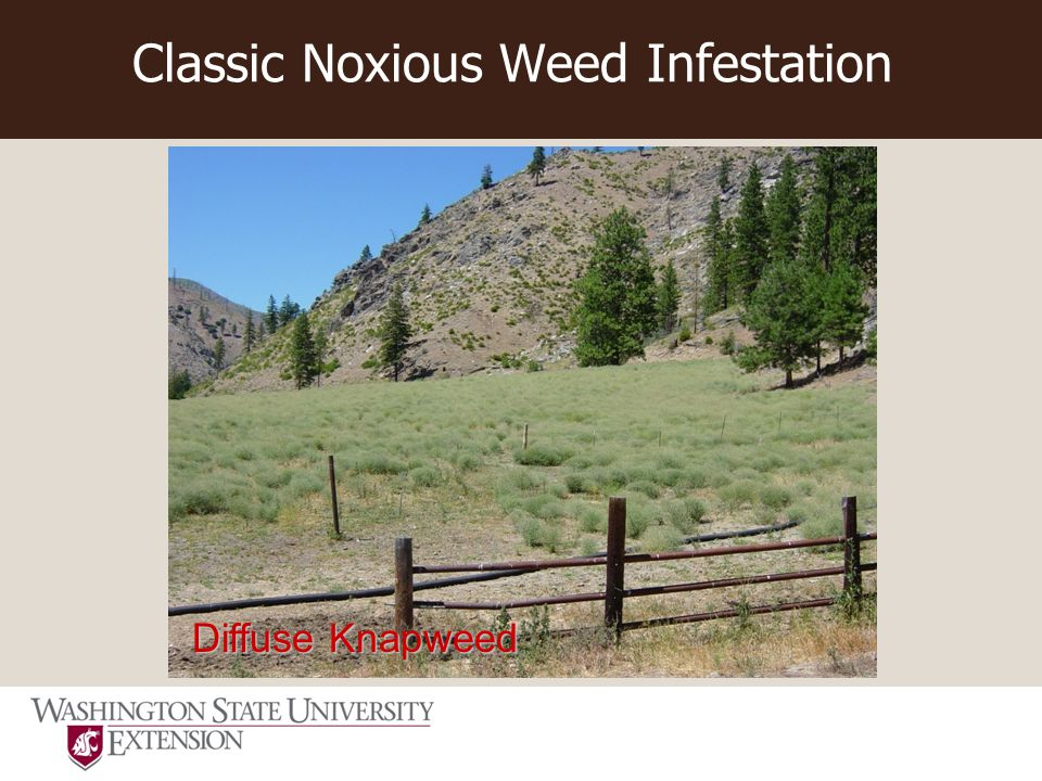Classic Noxious Weed Infestation Diffuse Knapweed