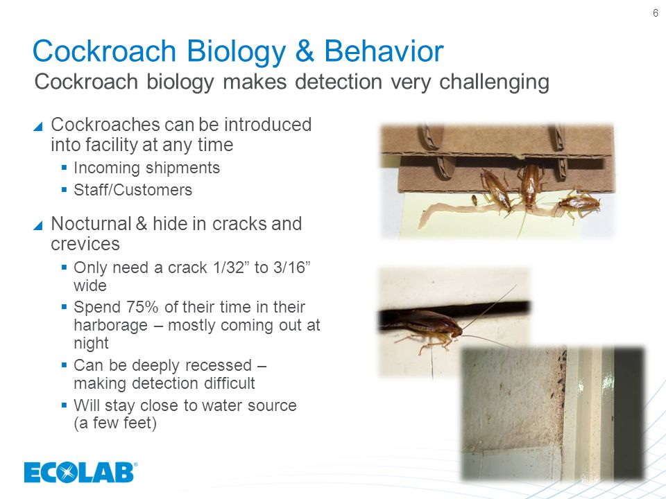 Cockroach Biology & Behavior  Cockroaches can be introduced into facility at any time  Incoming shipments  Staff/Customers  Nocturnal & hide in cracks and crevices  Only need a crack 1/32 to 3/16 wide  Spend 75% of their time in their harborage – mostly coming out at night  Can be deeply recessed – making detection difficult  Will stay close to water source (a few feet) 6 Cockroach biology makes detection very challenging