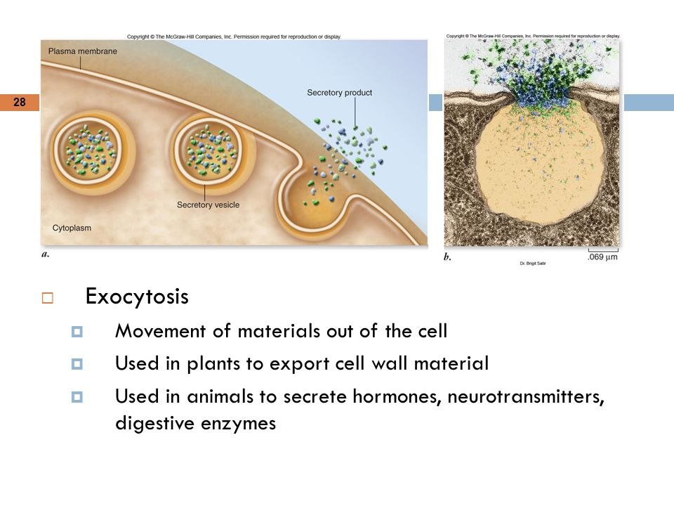 28  Exocytosis  Movement of materials out of the cell  Used in plants to export cell wall material  Used in animals to secrete hormones, neurotran