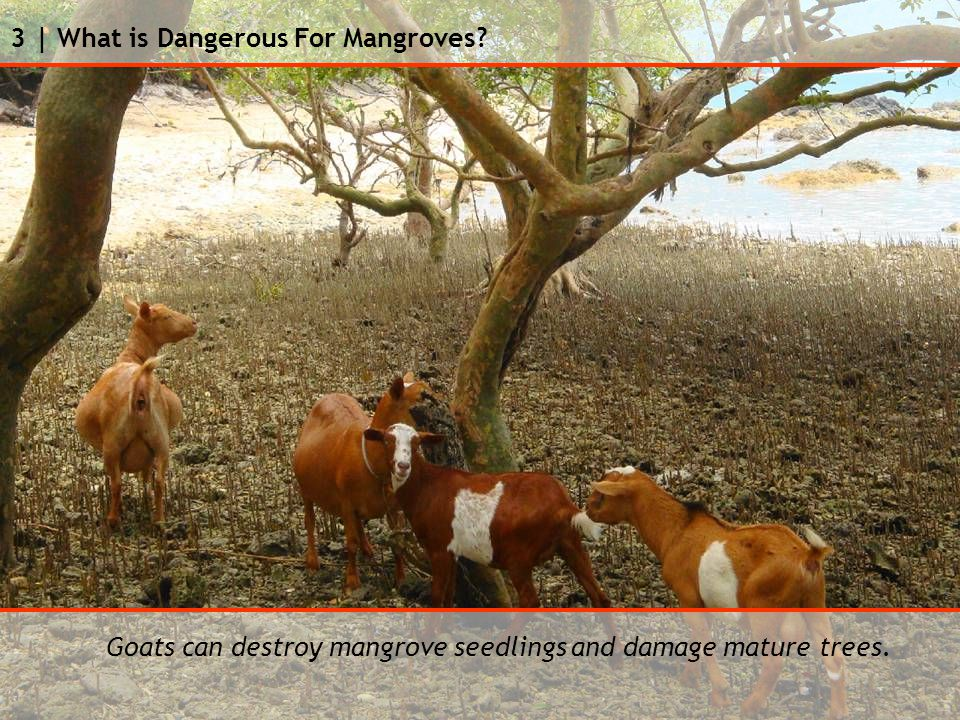 3 | What is Dangerous For Mangroves Goats can destroy mangrove seedlings and damage mature trees.