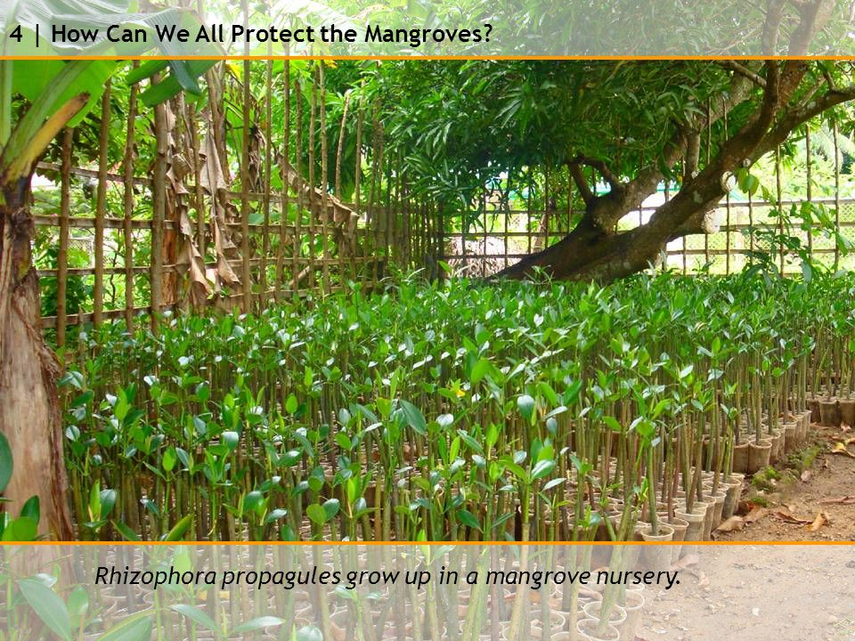 4 | How Can We All Protect the Mangroves Rhizophora propagules grow up in a mangrove nursery.