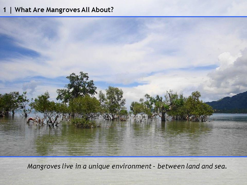 1 | What Are Mangroves All About Mangroves live in a unique environment – between land and sea.