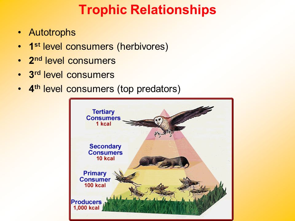 Trophic Relationships Autotrophs 1 st level consumers (herbivores) 2 nd level consumers 3 rd level consumers 4 th level consumers (top predators)