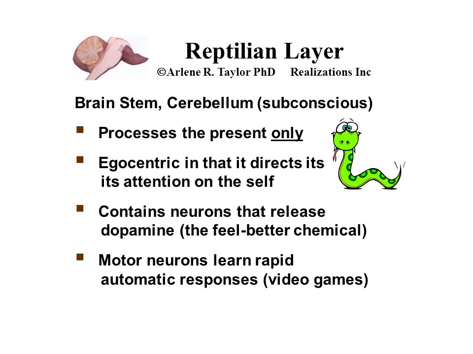 Reptilian Layer  Arlene R. Taylor PhD Realizations Inc Brain Stem, Cerebellum (subconscious)  Processes the present only  Egocentric in that it dir