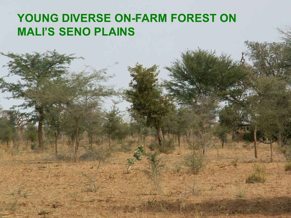 YOUNG DIVERSE ON-FARM FOREST ON MALI'S SENO PLAINS
