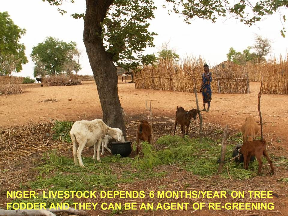 NIGER: LIVESTOCK DEPENDS 6 MONTHS/YEAR ON TREE FODDER AND THEY CAN BE AN AGENT OF RE-GREENING