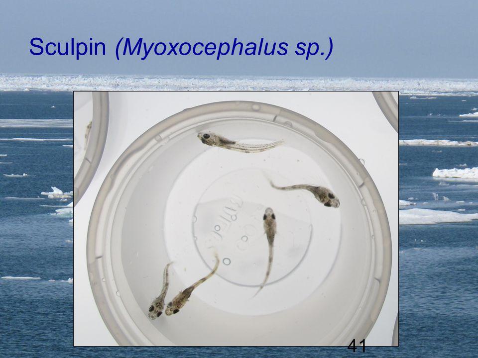 UNIVERSITY OF ALASKA FAIRBANKS 41 Sculpin (Myoxocephalus sp.) 41