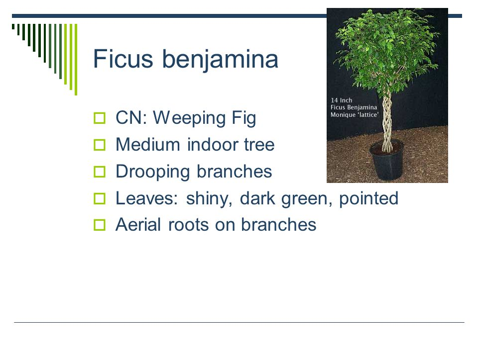 Ficus benjamina  CN: Weeping Fig  Medium indoor tree  Drooping branches  Leaves: shiny, dark green, pointed  Aerial roots on branches
