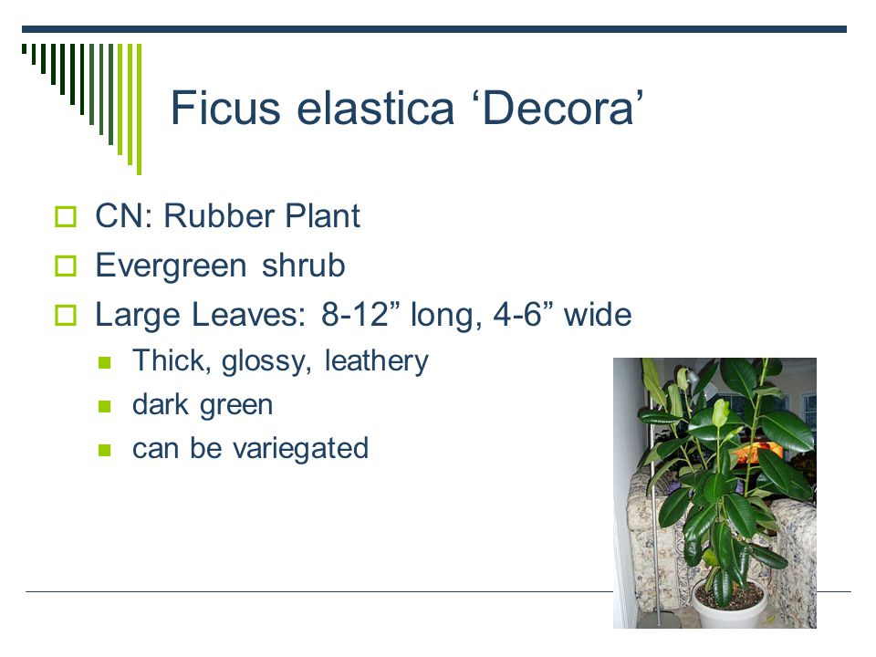 Ficus elastica 'Decora'  CN: Rubber Plant  Evergreen shrub  Large Leaves: 8-12 long, 4-6 wide Thick, glossy, leathery dark green can be variegated