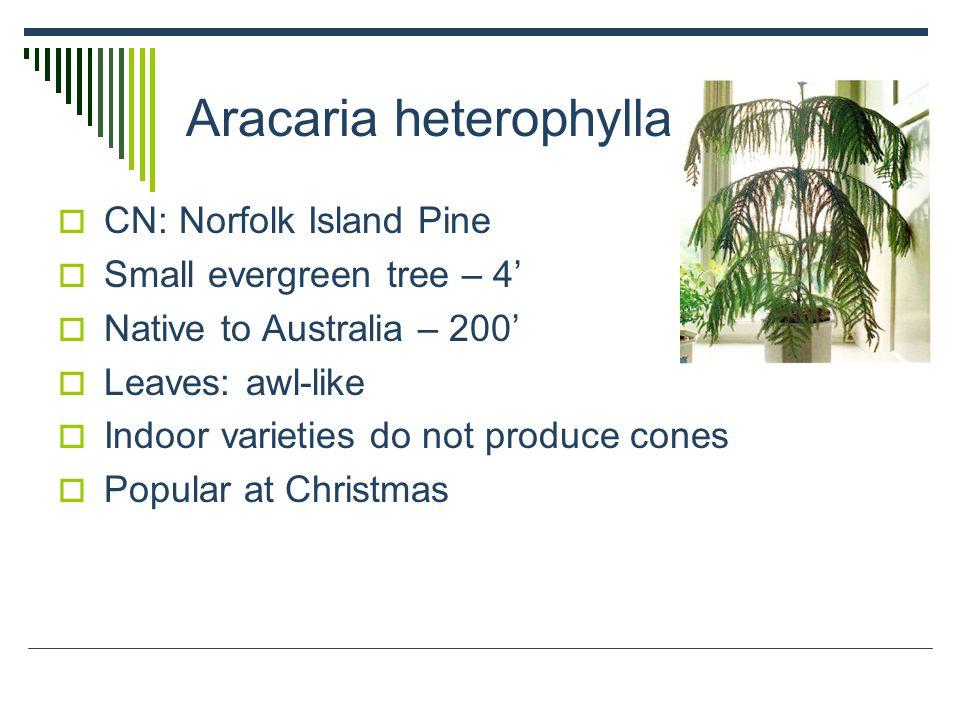 Aracaria heterophylla  CN: Norfolk Island Pine  Small evergreen tree – 4'  Native to Australia – 200'  Leaves: awl-like  Indoor varieties do not produce cones  Popular at Christmas