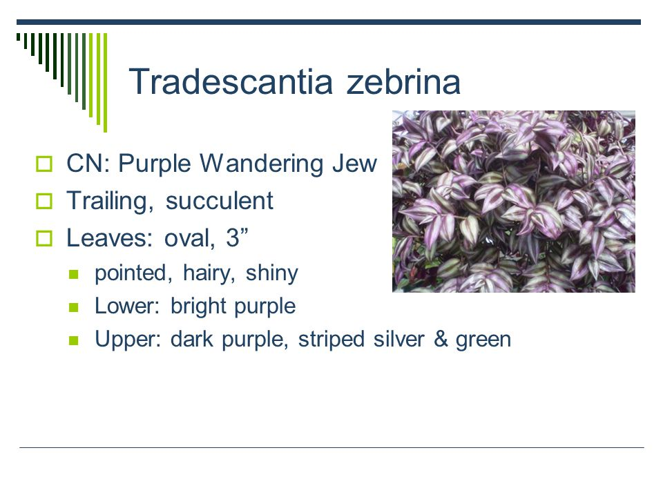 Tradescantia zebrina  CN: Purple Wandering Jew  Trailing, succulent  Leaves: oval, 3 pointed, hairy, shiny Lower: bright purple Upper: dark purple, striped silver & green