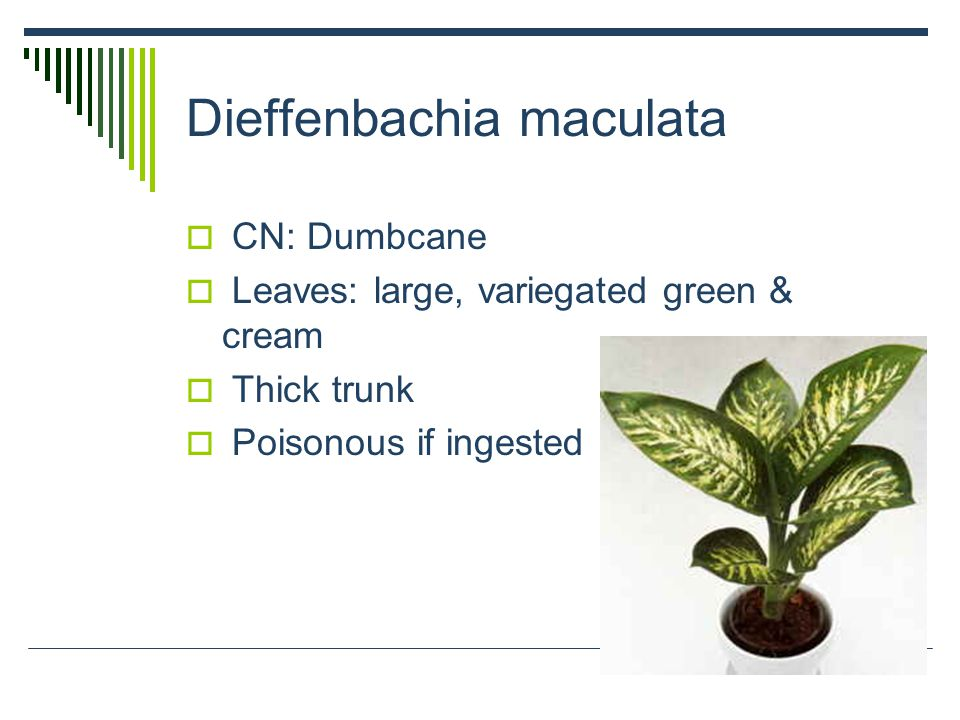 Dieffenbachia maculata  CN: Dumbcane  Leaves: large, variegated green & cream  Thick trunk  Poisonous if ingested