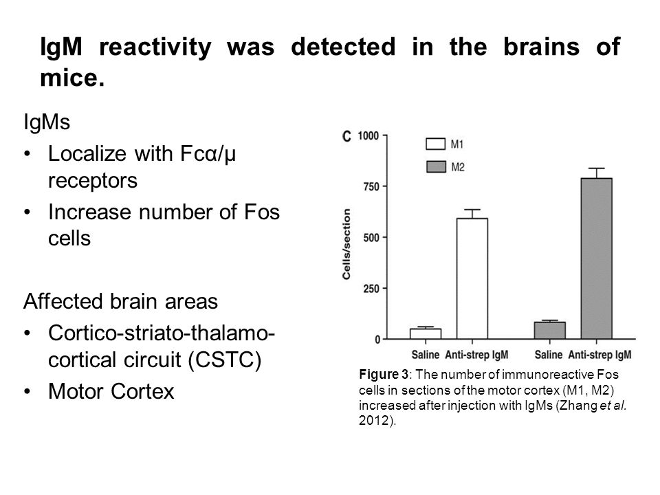 IgM reactivity was detected in the brains of mice.