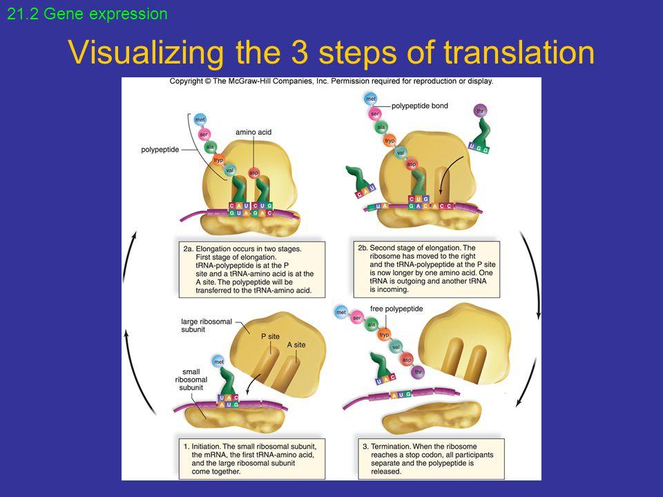 Visualizing the 3 steps of translation 21.2 Gene expression